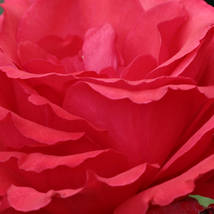 Buy Roses Online - Red - hybrid Tea - intensive fragrance - Amica - Febo Giuseppe Cazzaniga - It can be combined with medium-sized shrubs or perennials.