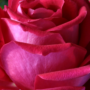 Rose Shopping Online - Pink - hybrid Tea - intensive fragrance - Anne Marie Trechslin - Meilland International - Its large, decorative, fragrant flowers are well represented in bouquets.
