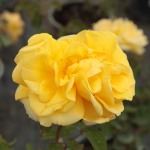 Yellow mixture - park rose
