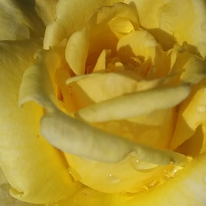 Roses Online - Apache - park rose - yellow - intensive fragrance - Gordon J. Von Abrams - Its beautiful shaped, pointed blooms are large, creamy yellow coloured with pink spots.