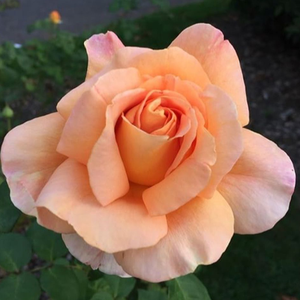 Apricot Silk - rose - www.pharmarosa.co.uk
