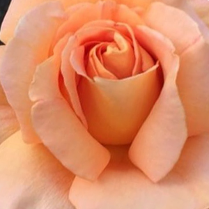 Buy Roses Online - Orange - hybrid Tea - moderately intensive fragrance - Apricot Silk - Charles Walter Gregory - It blooms from the beginig of spring to the end of autumn. Shade tolerant.