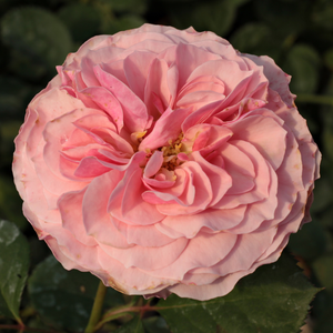 Pink - bed and borders rose - floribunda