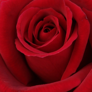 Buy Roses Online - Red - hybrid Tea - intensive fragrance - Avon - Dennison Harlow Morey - Its flower is 10 cm in diameter and its color is red. It has about 20 petals. Flowers are pleasantly fragrant.