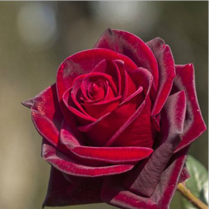 Black Velvet - red - hybrid Tea