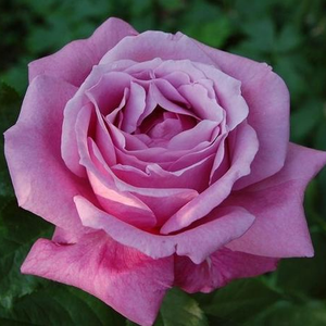 Mauve mixture - bed and borders rose - floribunda