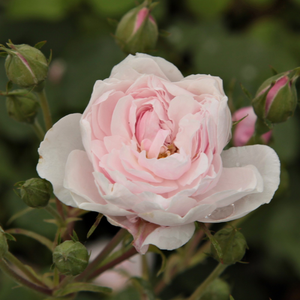 Rosa Blush Noisette - rose - rosiers noisette