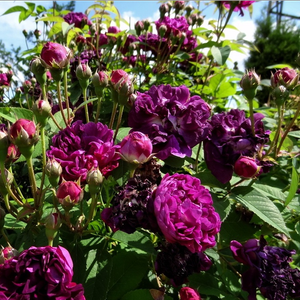 Dark purple, mauve center - gallica rose