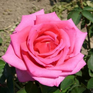 Coral-pink dark pink center - bed and borders rose - floribunda