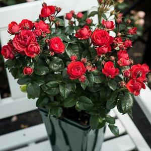 Bright red - miniature rose