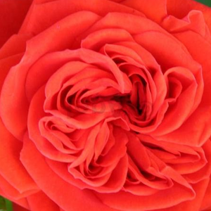Roses Online Delivery - Red - miniature rose - moderately intensive fragrance -  Chica Flower Circus® - W. Kordes & Sons - When planted in a container, we can admire the flowers on our terrace.