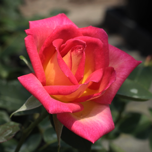 Colourama - red-yellow - hybrid Tea
