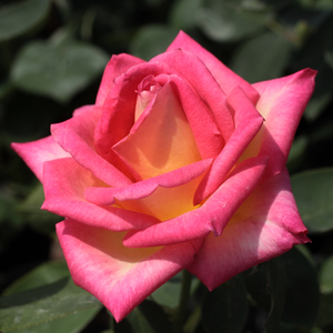 Rosso - Giallo - Rose Ibridi di Tea - Rosa dal profumo discreto ...