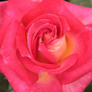 Buy Roses Online - Red-Yellow - hybrid Tea - discrete fragrance - Colourama - Marie-Louise (Louisette) Meilland - Excellent cut flower and also good for planting in beds.