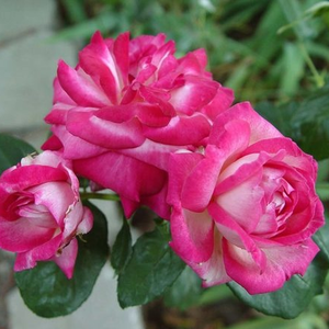 Silver, pink strong winds - bed and borders rose - floribunda