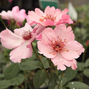 b5b518dfb594c2 Dainty Bess - rose pâle - rosiers en ligne - rosiers thé et Acapella ...
