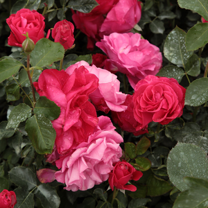 Pink, pink salmon - bed and borders rose - floribunda