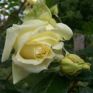Elfe® - yellow - climber rose