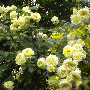 White, sometimes light pink - climber rose