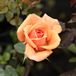 Ellen - orange - english rose