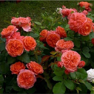 Pink, apricot shading - english rose