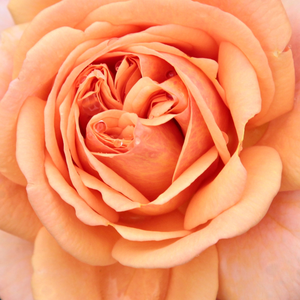 Rose Shopping Online - Orange - english rose - intensive fragrance - Ellen - David Austin - Its flowers give a unique look to Rosa Ellen, which are initially peachy, with a slightly brown shade.