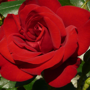 Buy Roses Online - Red - hybrid Tea - intensive fragrance -  Ena Harkness - Albert Norman - It is a variety which blooming all summer and early autumn.