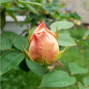 Evelyn - pink - english rose