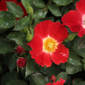 Eye Paint - red - white - bed and borders rose - floribunda