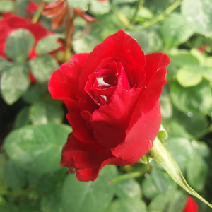 Fontaine® - red - hybrid Tea