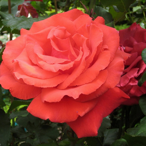 Orange or orange-red - bed and borders rose - grandiflora - floribunda
