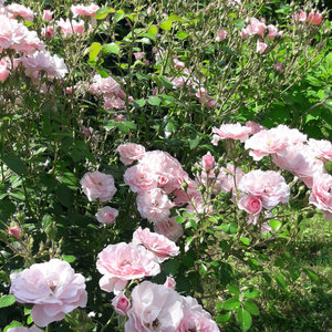 Light pink - bed and borders rose - floribunda