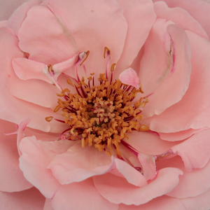 Rose Shop Online - bed and borders rose - floribunda - pink - Geisha® - discrete fragrance - Mathias Tantau, Jr. - Rosa Geisa has elongated buds, fine, pale pink, semi-full flowers blossom.