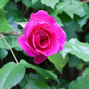 General MacArthur - pink - hybrid Tea