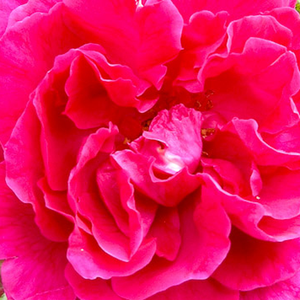 Buy Roses Online - Pink - hybrid Tea - intensive fragrance - General MacArthur - Edward Gurney Hill - It has intense scent of damask roses.