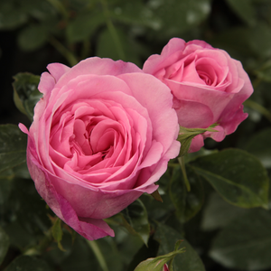 Ausbord - pink - english rose