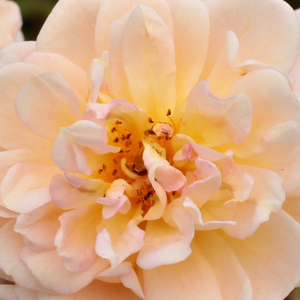 Buy Roses Online - Yellow - rambler, rose - moderately intensive fragrance - Ghislaine de Féligonde - Eugène Turbat & Compagnie - It is capable to climb up to high buildings. Good remontacy. It resists half-shadow.