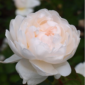 White with cream shadows - english rose