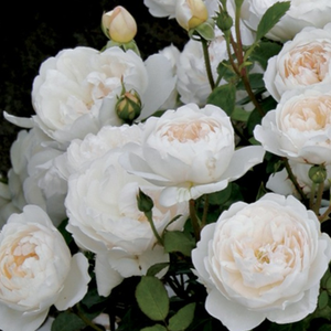 Auslevel - white - english rose