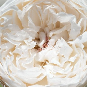 Rose Shopping Online - White - english rose - very strong-fragrance - Auslevel - David Austin - Beautifull bush and looks good in bed of roses