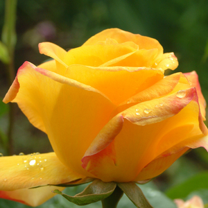Rosa Gold Crown® - geel - theehybriden