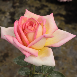 Light yellow - hybrid Tea