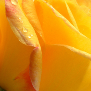 Buy Roses Online - Yellow - hybrid Tea - intensive fragrance - Gold Crown® - Reimer Kordes - Upright growing variety so it is perfect for cut flower.