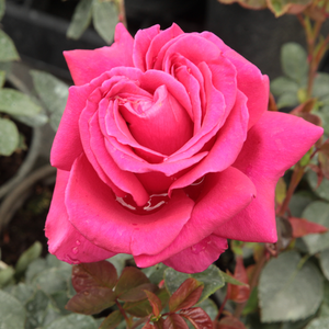 Rose Shopping Online - Pink - hybrid Tea - intensive fragrance - Görgény - Márk Gergely - It has intense coloured, doubled flowers what blooming from June to autumn.