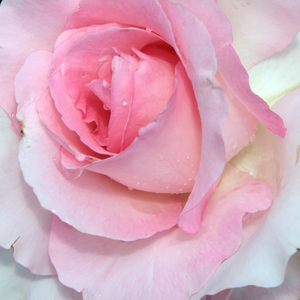 Buy Roses Online - Pink - hybrid Tea - discrete fragrance - Grand Siècle - Georges Delbard - Its leafs are gray-green, shrub, strong growth, blooms in summer.