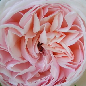 Roses Online Delivery - Pink - bed and borders rose - grandiflora - floribunda - discrete fragrance -  Grüss an Aachen - L. Wilhelm Hinner - It is a special, yellowish shade of pink color, whose color became lighter during the opening.