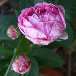 Honorine de Brabant - pink - purple - bourbon rose