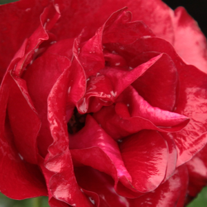 Rose Shop Online - bed and borders rose - floribunda - red - Inge Kläger - no fragrance - Márk Gergely - The  flowering is beginning in the first half of June and it is blooming till  autumn. Disease tolerant, drought-tolerant.