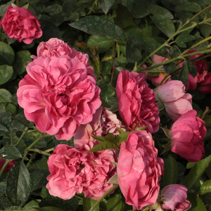 Dark pink - bed and borders rose - polyantha