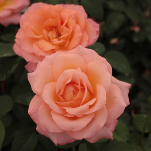 Apricot colour - hybrid Tea